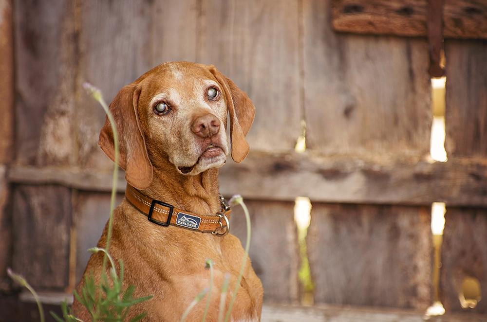 Photo chien âgé braque viesla