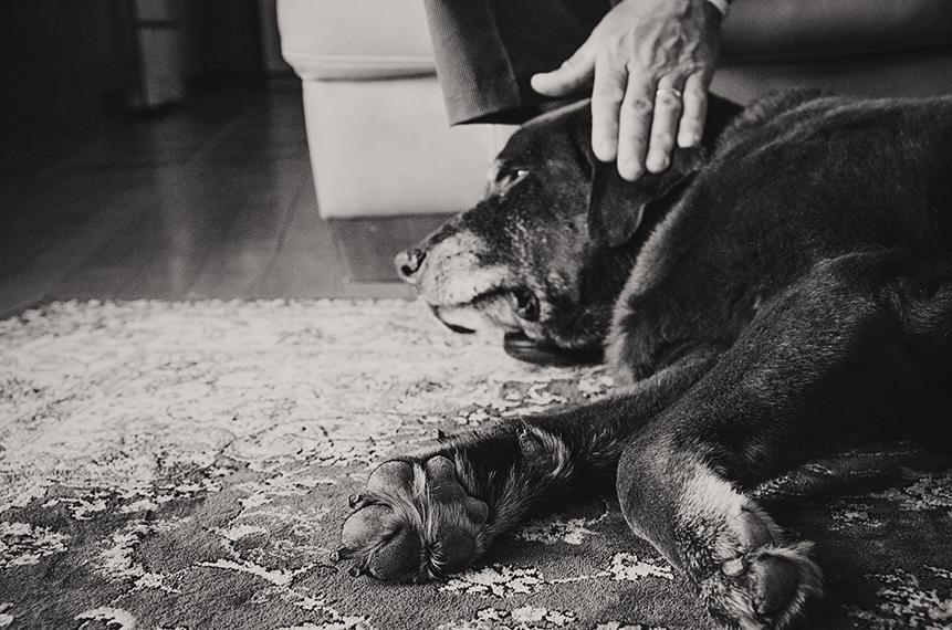 Photo vieux chien labrador