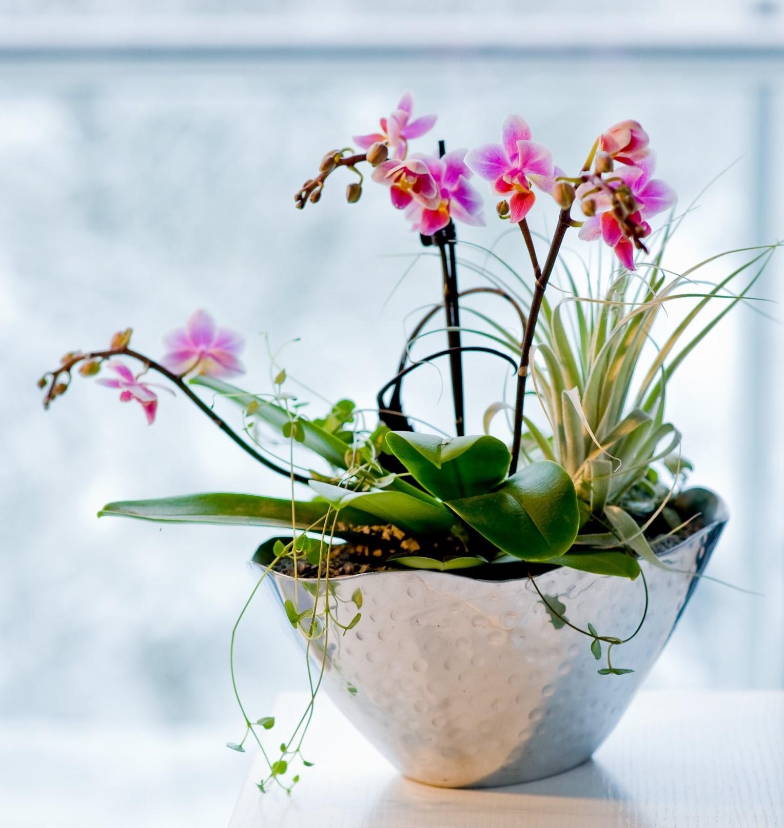 Orhidee, Phalaenopsis,
