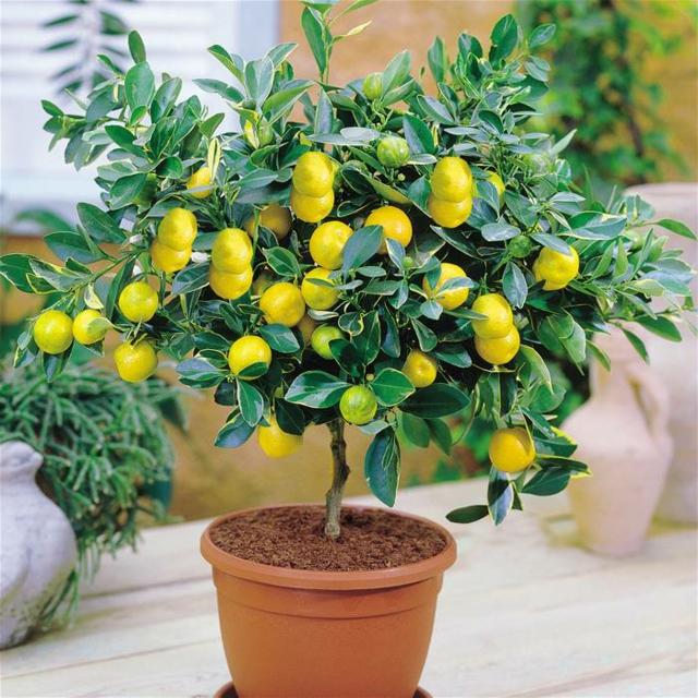 zimmerpflanze, zitronenbaum, münchen