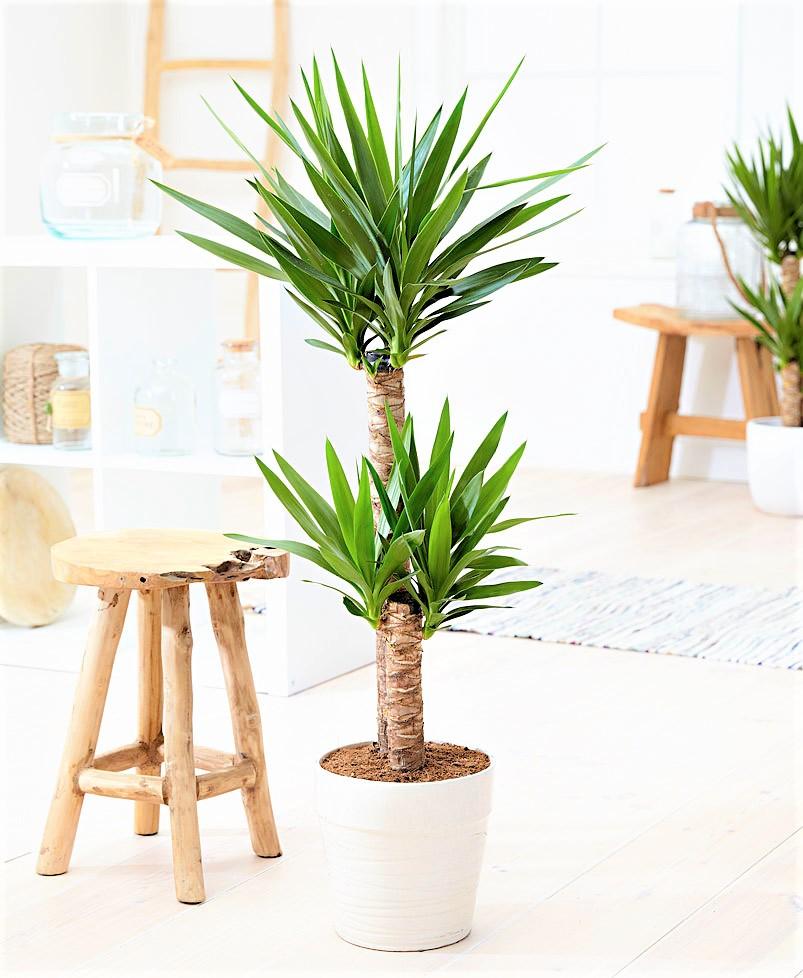 Innenraumbegrünung, Yuka, zimmerpflanze
