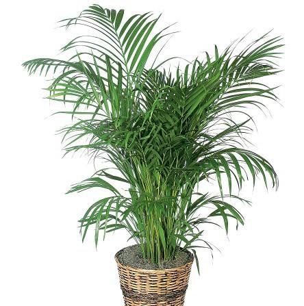 palme, zimmerpflanze, pflanze für büro