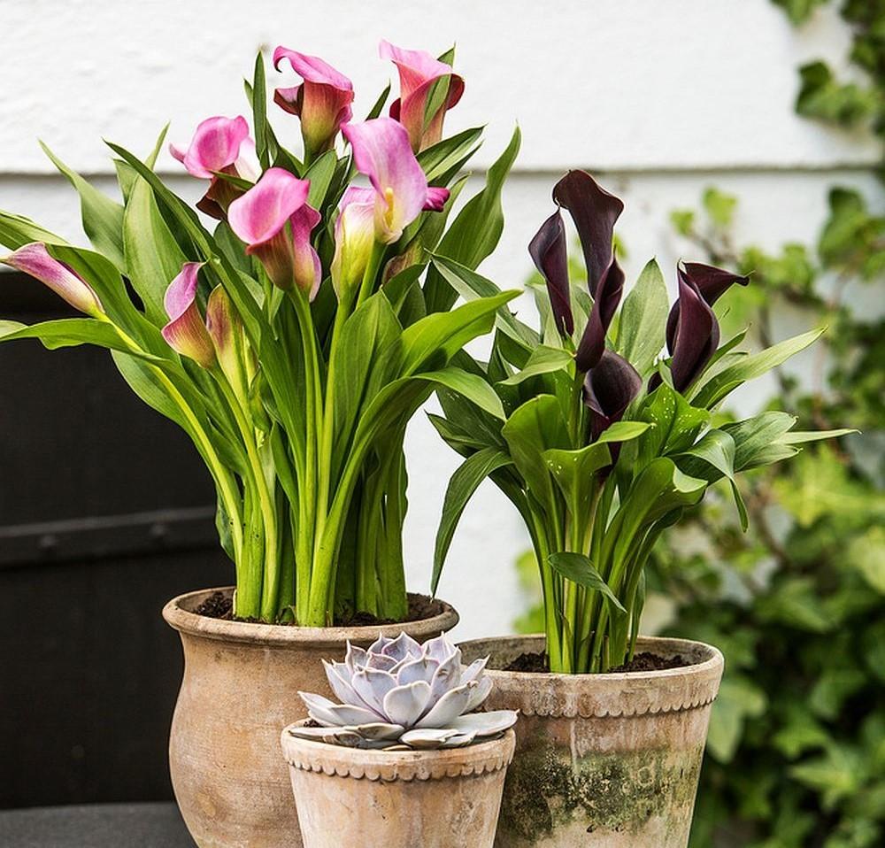 calla, zantedeschia, zimmerpflanze