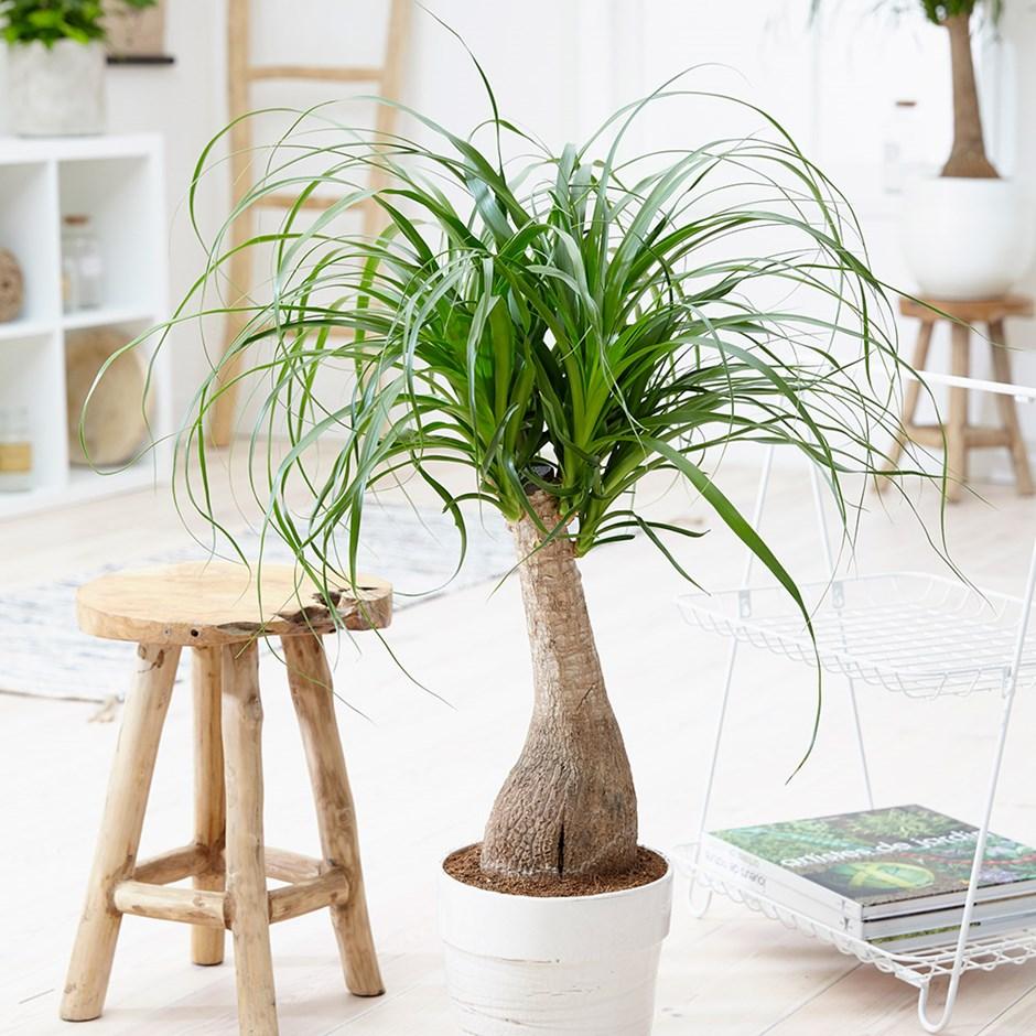 elefantenfuß, zimmerpflanze, pflanze für büro