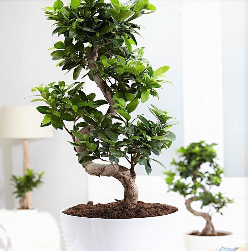zimmerpflanze, bonsai ficus