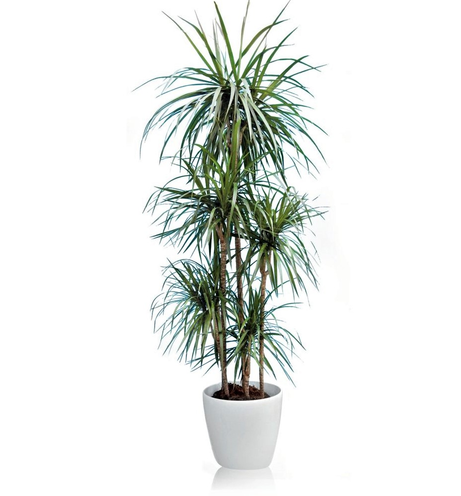 zimmerpflanze, Drachenbäume, Dracaena