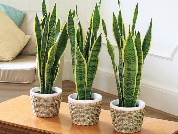 sansevieria, pflanze für büro, zimmerpflanze