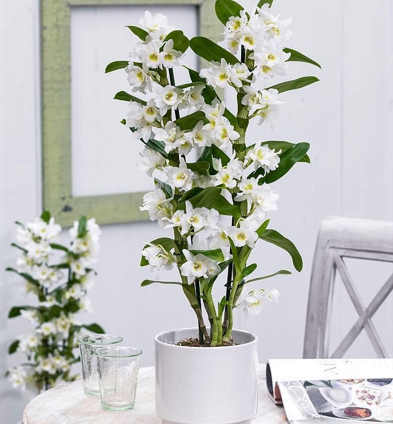 orhidee, dendrobium, zimmerpflanze