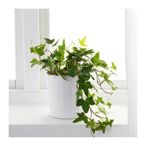 efeu, hedera, zimmerpflanze, pflanze für büro