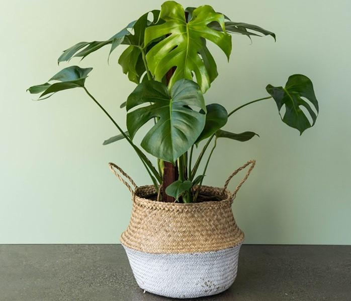 fensterblätter, monstera, zimmerpflanze