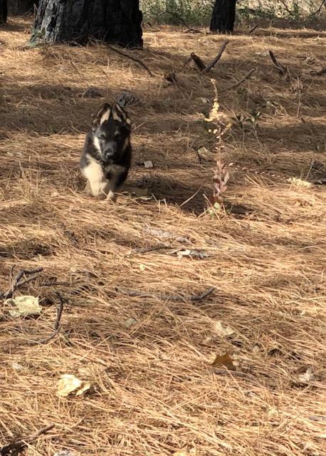 Zeus - Enjoying his first romp around Copitch Mountain.