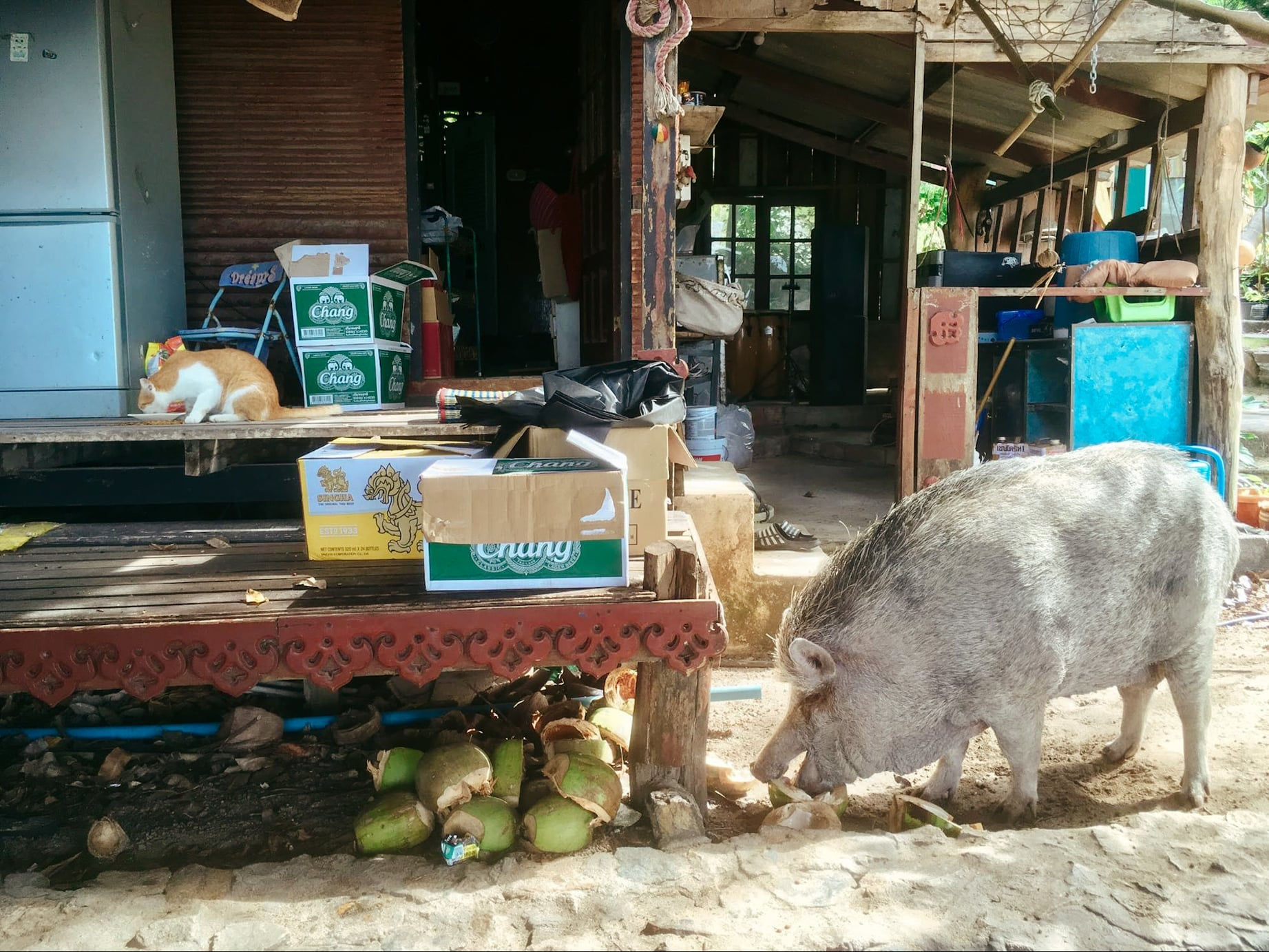 a cat and pig eating lunch in koh phangan, thailand
