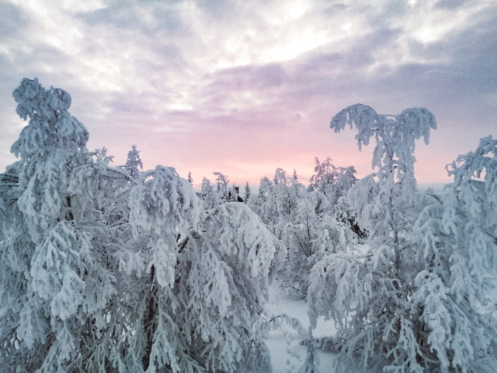 A pink sunrise in Lapland with snowcovered trees