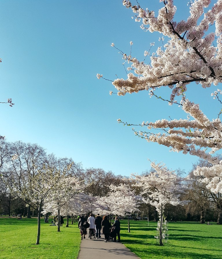 Cherry Blossoms in bloom on a sunny day in a park in London