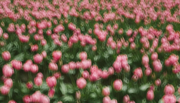 Paul Edmondson fine art photography of a field of tulips out of focus