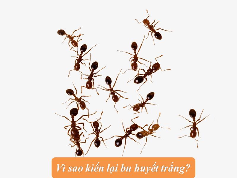 huyết trắng có kiến bu