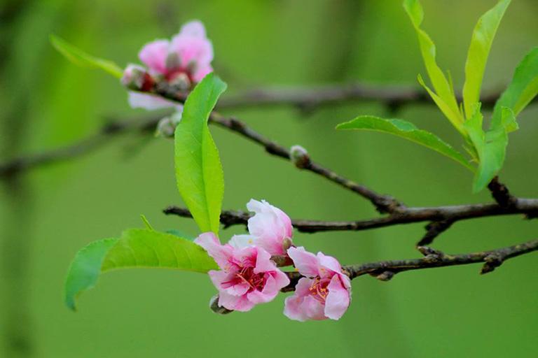 trị bệnh tổ đỉa với phương thuốc đắp từ lá đào tươi