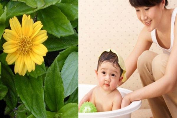 Tắm lá sài đất cho trẻ bị chàm sữa