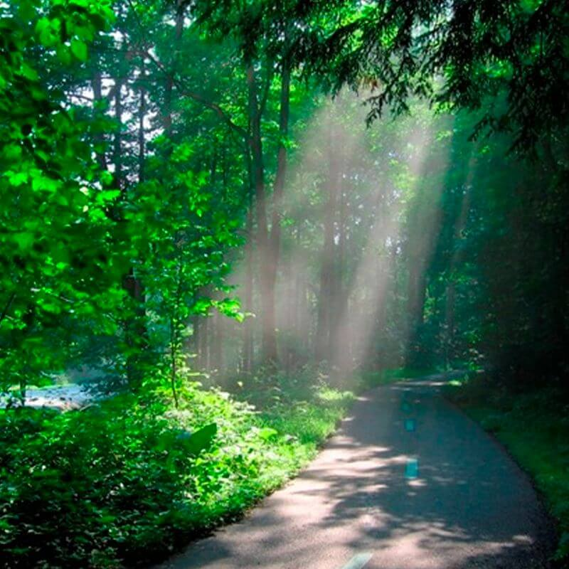 A path between tall trees with a sunbeam casting a spotlight