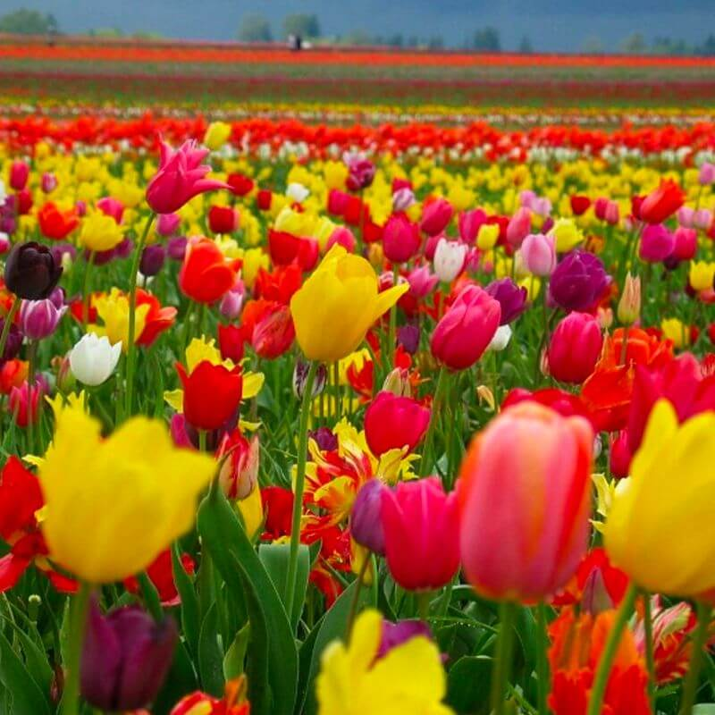A field of tulips in the sun
