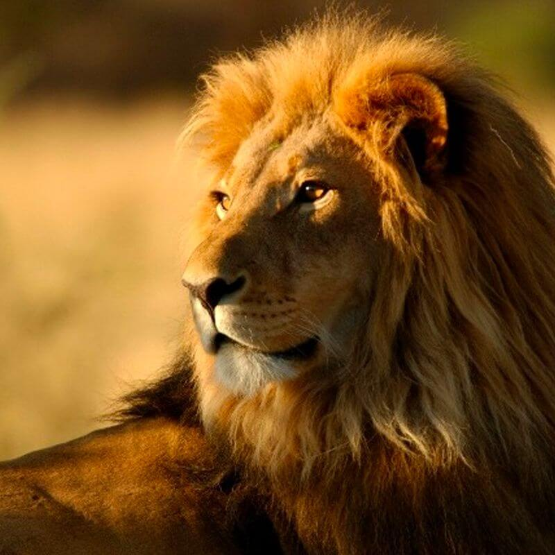 An adult lion with a gentle gaze and light on his face