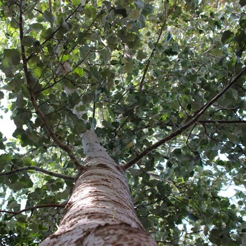 Tall poplar tree, photographed from the bottom up