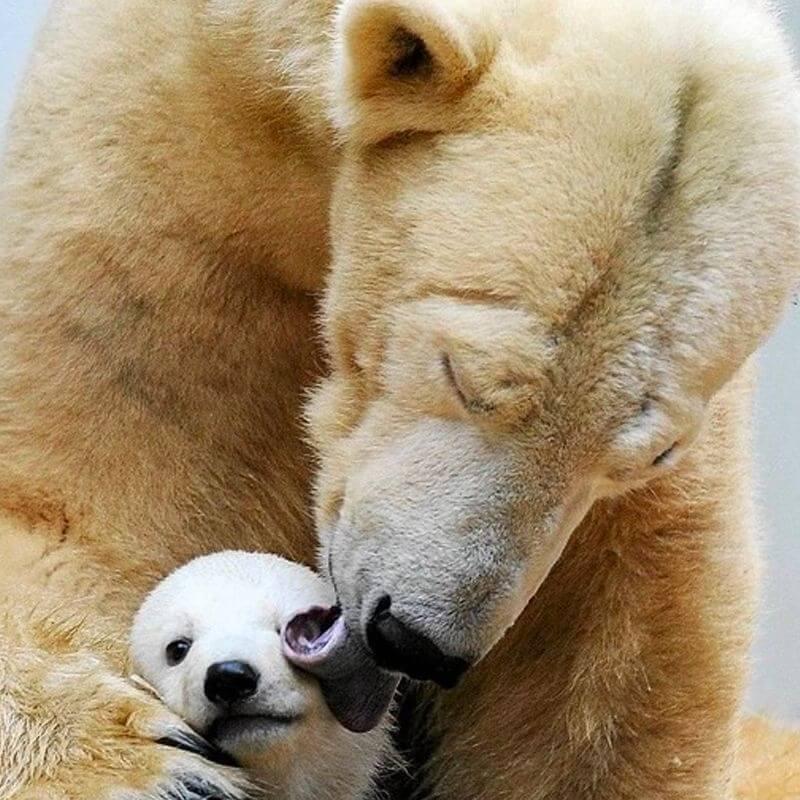 A giant polar bear gently licks his cub