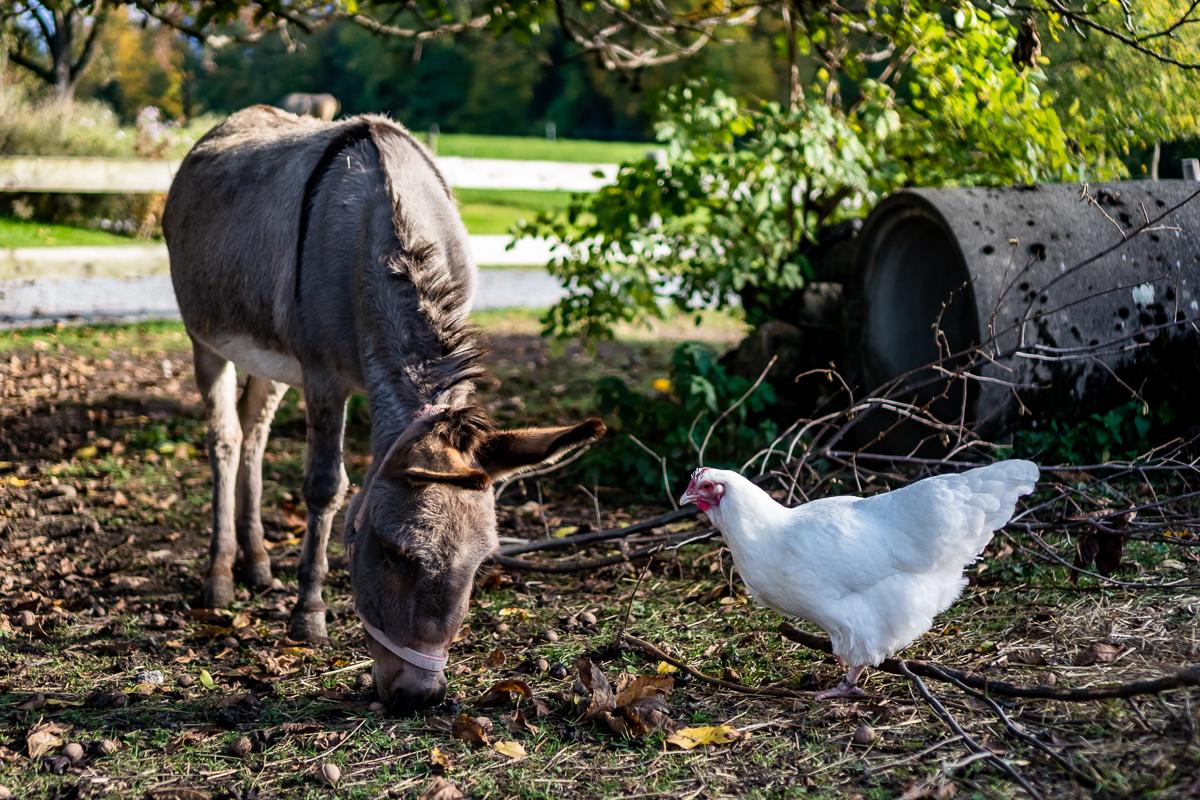 Bio-Bauernhof Tier Fotografie