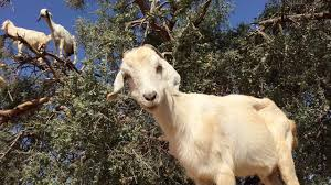 Putting Goats on Trees: Marketing Channel Tricks