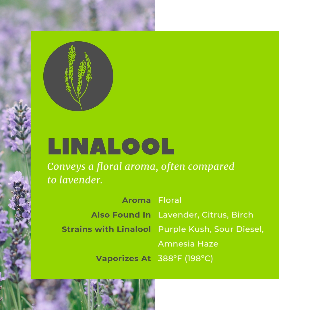 Cannabis terpene Linalool is found in Purple Kush and Sour Diesel.