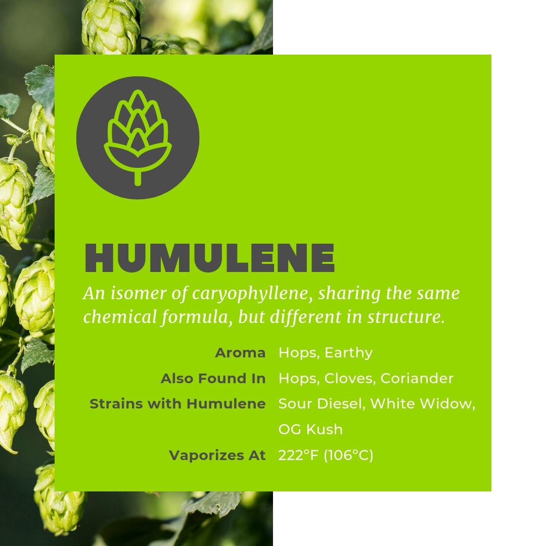 Humulene is a terpene also abundant in hops.