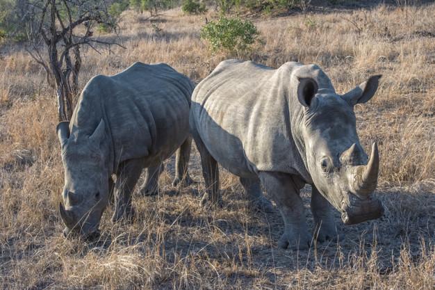 rinoceronte pene