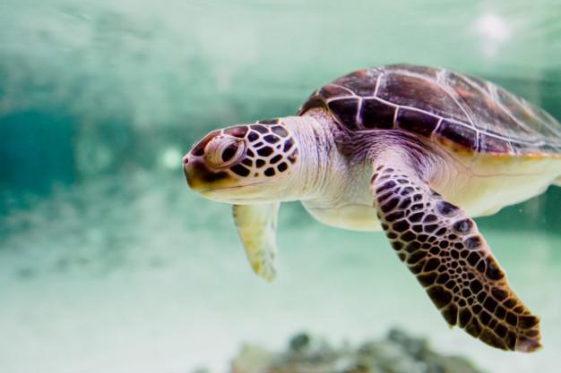peni di una tartaruga