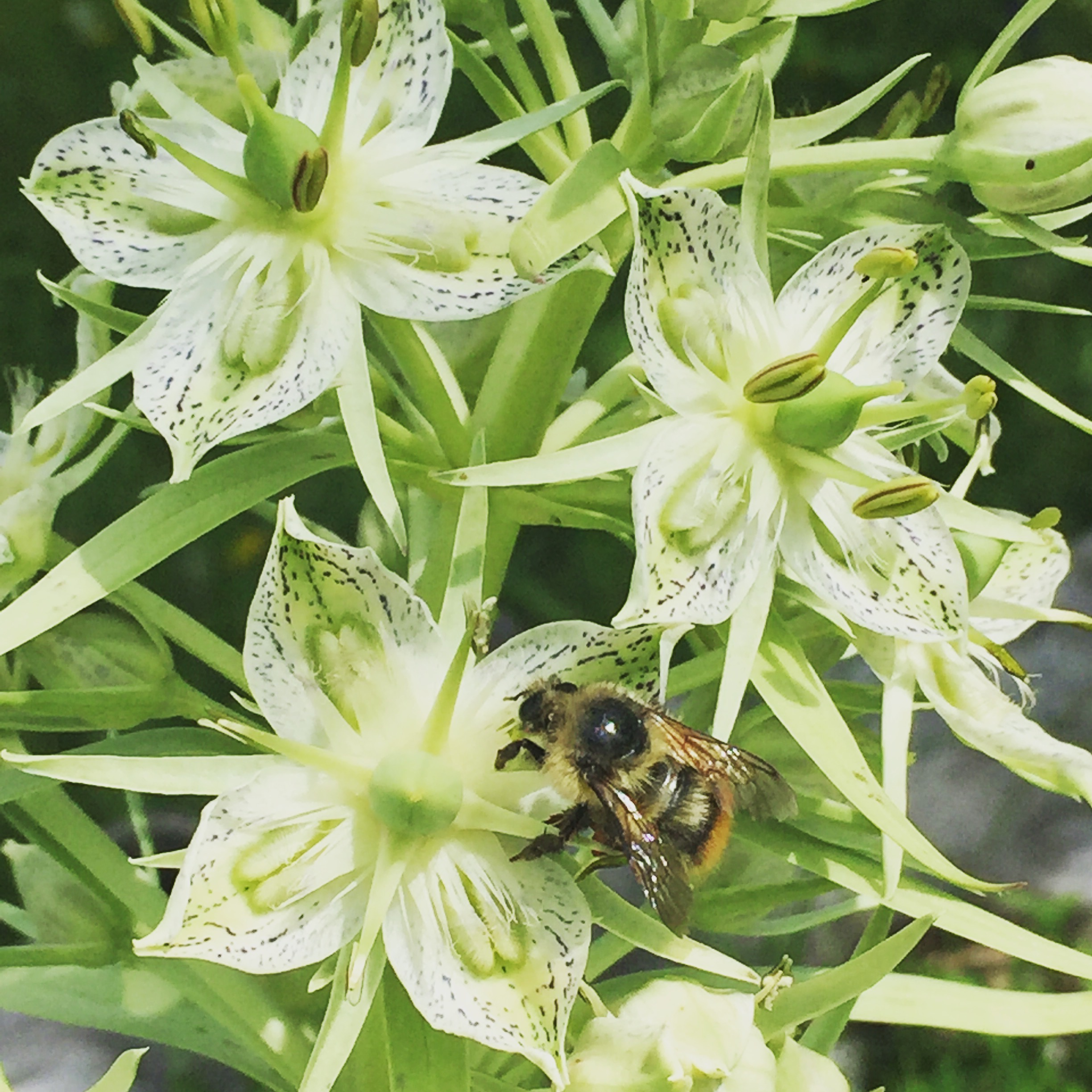 Monument Plant with Busy Bee