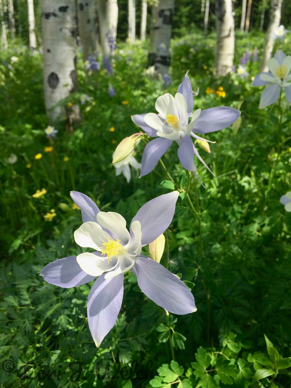 Columbine and Aspens