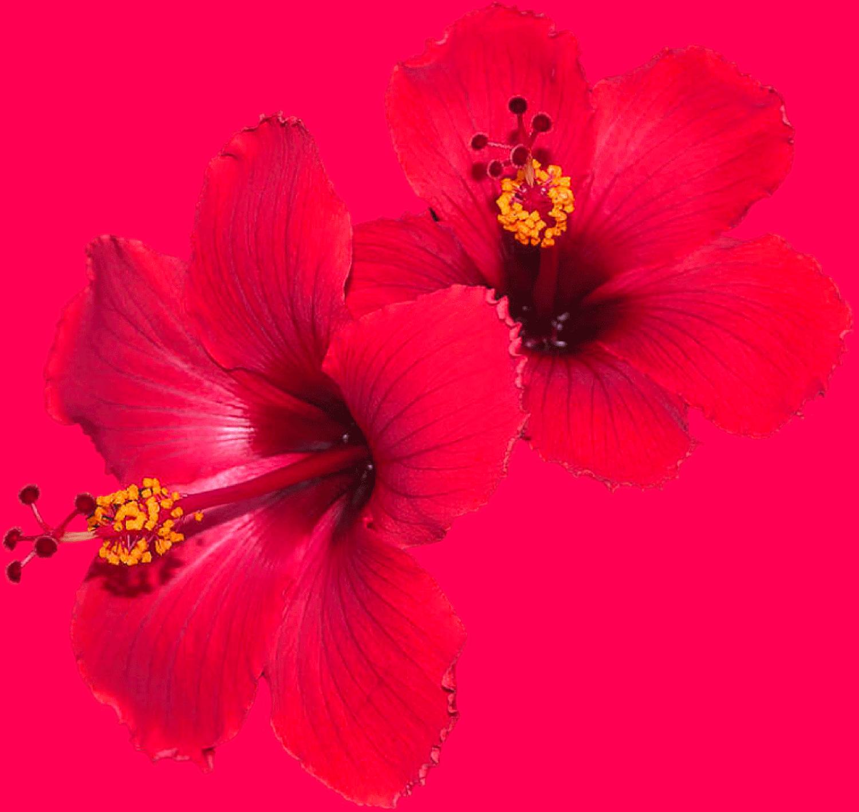MyMy Hibiscus