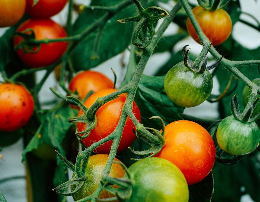 Milestone Tomato Plant