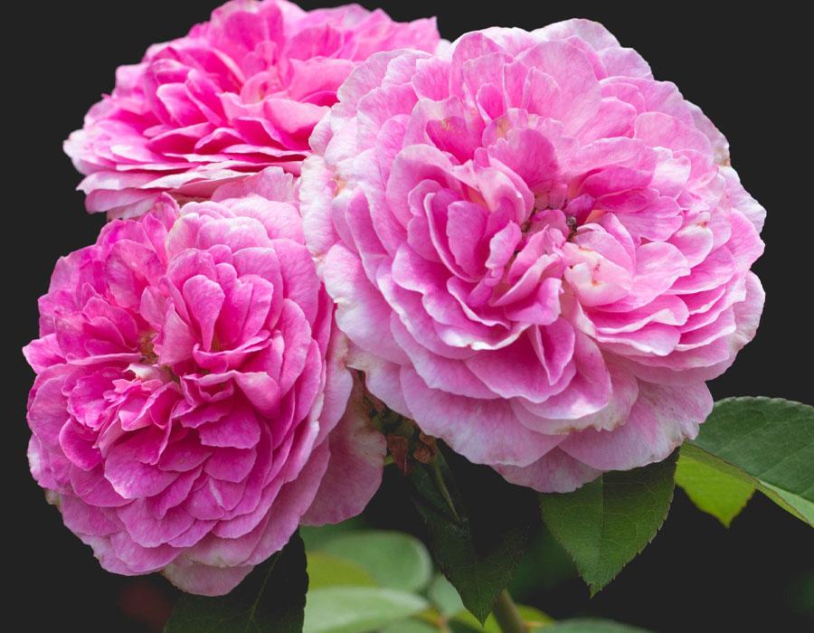 Milestone Roses