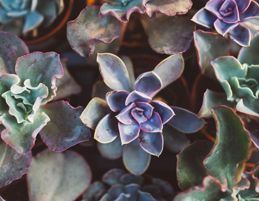 Milestone Succulents