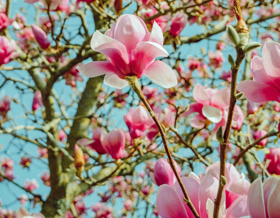 Milestone magnolia tree