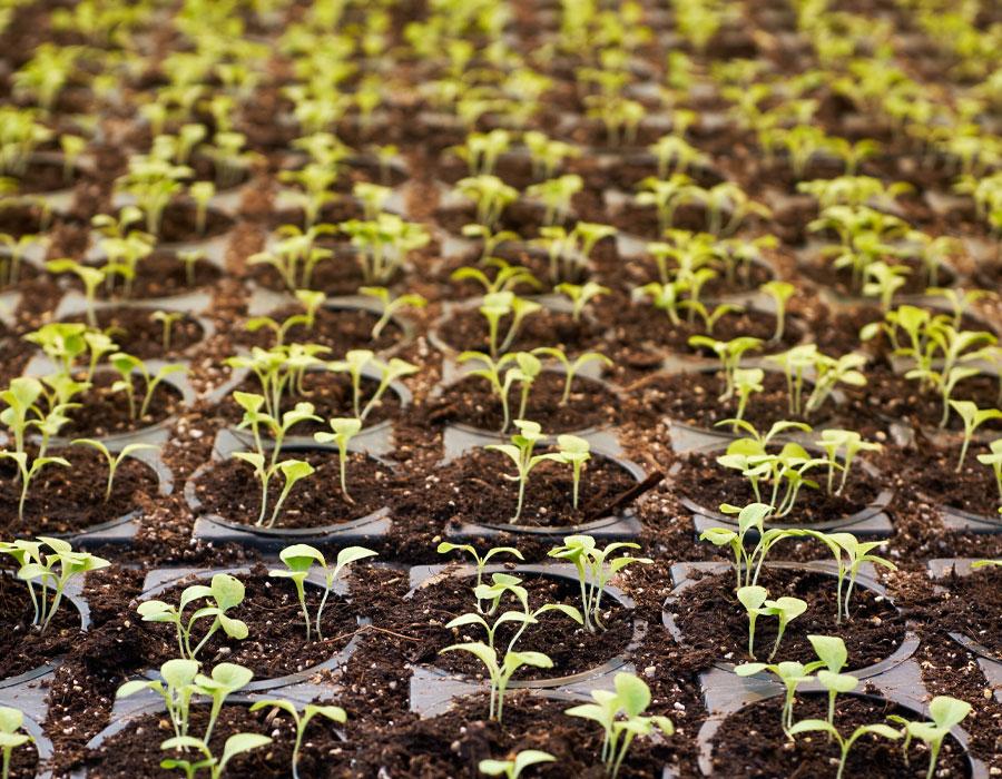 Milestone seedlings