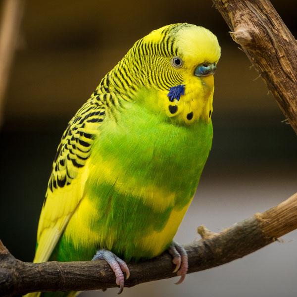 Budgies & Parrots