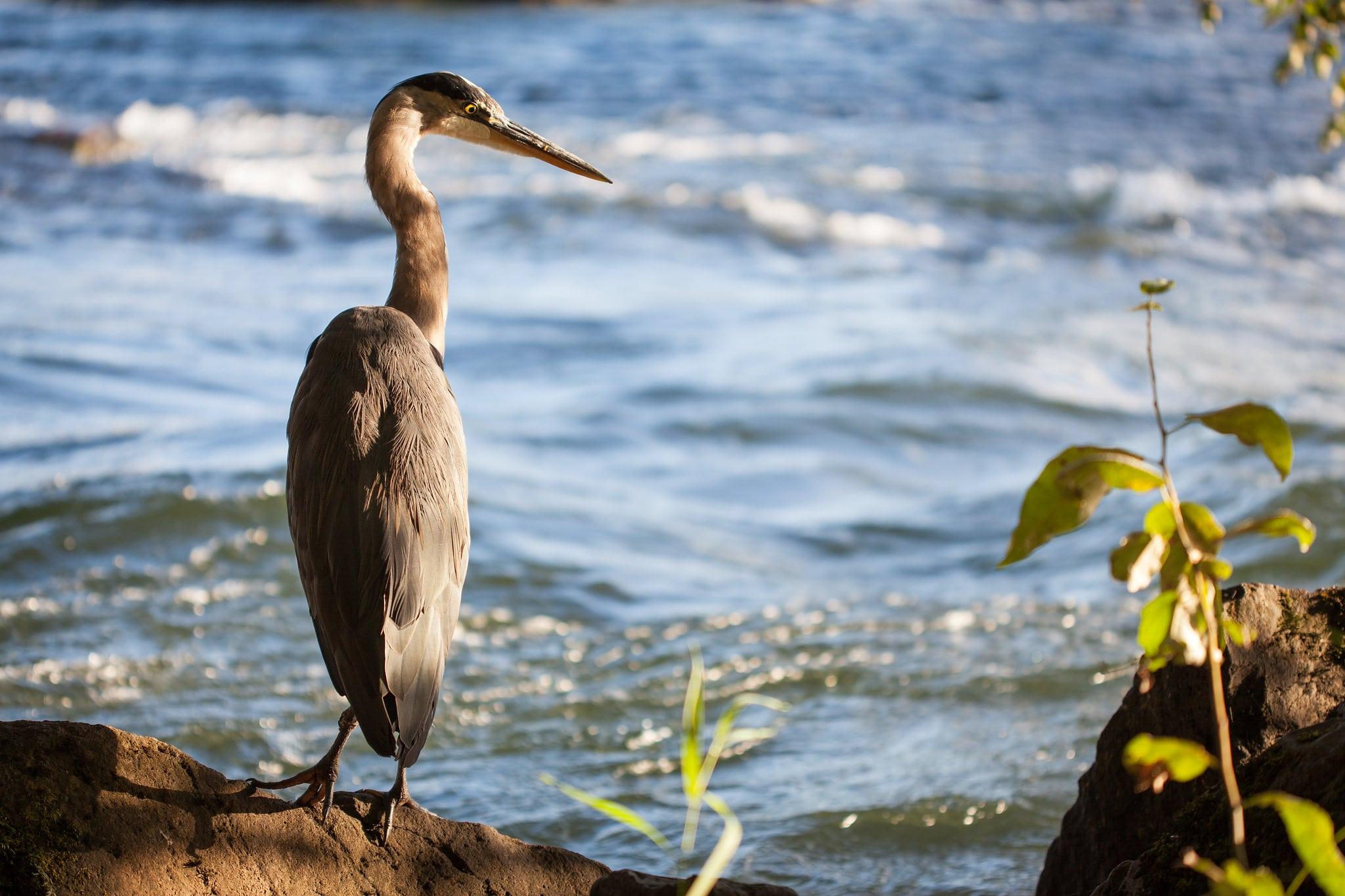 Heron - Daniel Berman Photograhy