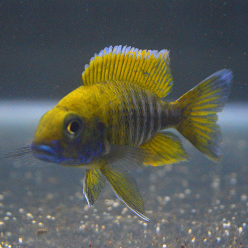 Peacock Cichlids