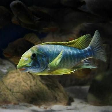 Petrochromis Cichlids