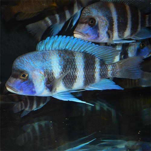 WILD  Cyphotilapia Frontosa Kansombo 'Blue' Trio £65ea