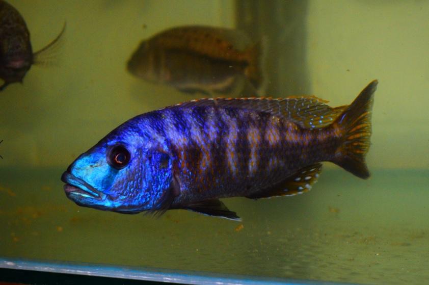 WILD Tyrannochromis Nigriventer