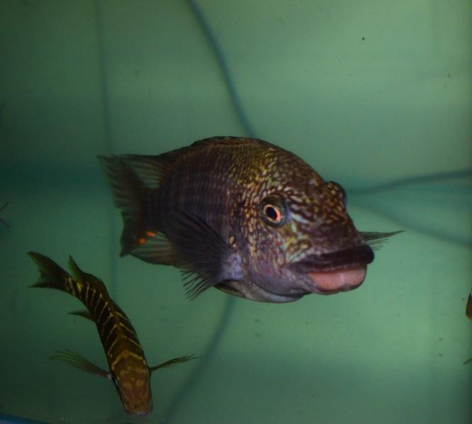 WILD Petrochromis Texas £60ea