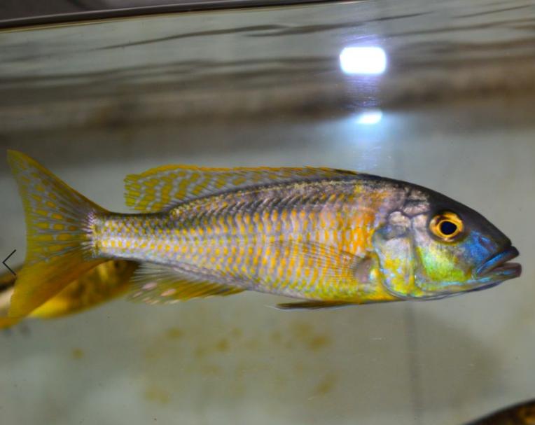 WILD Buccochromis Rhoadesi Trio £45ea