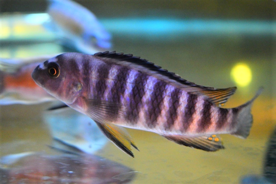Wild Labeotropheus Trewavasae Black Top Higga Reef